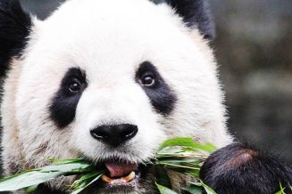 torontozoo-gallery-panda.jpg